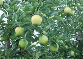Fruit Tree — Stockfoto