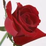 Rose — Stock Photo #23337622