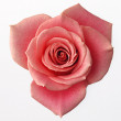 Rose — Stock Photo #23337754