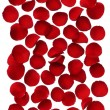 Red rose petals isolated on white background — Stock Photo