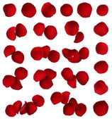 Red rose petal collection isolated on white background — Stock Photo