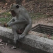 Cambodian monkey is eating cookies and staring on opponent — Stock Video