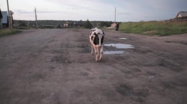 Cow's mooing on the road in russian countryside — Stock Video