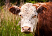 Brown Cow Head Shot — Foto de Stock