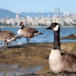 图库照片: CanadGeese In Front of Vancouver Skyline