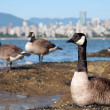 Stock fotografie: CanadGeese In Front of Vancouver Skyline