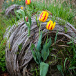 Stock Photo: Three Yellow and Red Tulips