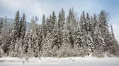 Row of Trees Covered in Snow — Stockfoto