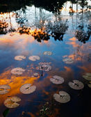 Reflected sunset colors on a pond with tulips leaves as a foreground. Borneo, Sabah, Malaysia — Foto de Stock