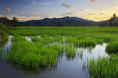 Paddy field at sunset. Borneo, Sabah, Malaysia — Stock Photo