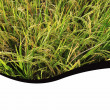 Rice paddy abstract background and layout — Stock Photo