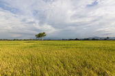 Lonely tree at paddy field with blue sky at Sabah, Borneo, Malaysia — Stock Photo