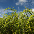 Rice paddy with blue sky at Sabah, Borneo, Malaysia — Stock Photo