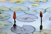 Water lily on a pond — Stock Photo