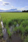 Paddy field at Sabah, Borneo, Malaysia with Mount Kinabalu at the background — Stock Photo