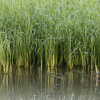 Reflection of young rice paddy plant — Stock Photo