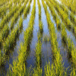 Young rice paddy plants — Stock Photo #37850299