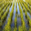 Young rice paddy plants — Stock Photo