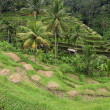 Terrace rice paddy field at Ubud, Bali, Indonesia — Stock Photo #37862601
