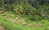 Terrace rice paddy field at Ubud, Bali, Indonesia — ストック写真