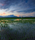 Paddy field at sunrise in Sabah, Borneo, Malaysia — Stock Photo