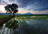 Single tree at a paddy field in Sabah, Borneo, Malaysia — 图库照片