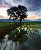 Single tree at a paddy field in Sabah, Borneo, Malaysia — Stock Photo