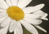 Daisy flower with water droplets — Stock Photo