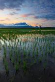Paddy field at sunrise in Sabah, Borneo, Malaysia — Stockfoto