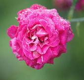 Flor color de rosa con gotas de agua — Foto de Stock