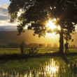 Silhouette of single tree with sunburst at a paddy field in Sabah, Borneo, Malaysia — Stock Photo