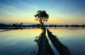 Reflejo de la puesta del sol y único árbol en sabah, borneo, malasia — Foto de Stock