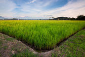Harmonic view of a paddyfield with blue sky at Sabah, Borneo, Malaysia — Stock Photo