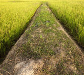 Dirt path in a paddy field — Stock Photo