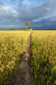 Paddy field with dirt pathway at Sabah, Borneo, Malaysia — Stock Photo