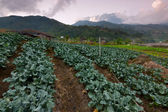 Cabbage vegetable field with Mount Kinabalu at the background in Kundasang, Sabah, Malaysia, Borneo — Stockfoto