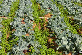 Rows of cabbage vegetable — Photo
