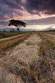 Harvested paddy field at Kota Marudu, Sabah, East Malaysia, Borneo — Foto de Stock