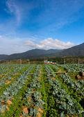 Vegetable field with blue sky at Kundasang, Sabah, East Malaysia, Borneo — Foto de Stock