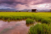 Paddy field on a gloomy day in Sabah, East Malaysia, Borneo — Stock Photo