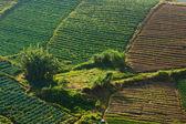 ボルネオ島サバ州クンダサン東マレーシアで田舎野菜畑 — ストック写真