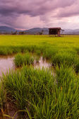 Paddy field on a gloomy evening at Kota Marudu, Sabah, East Malaysia, Borneo — Stock Photo