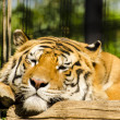 Royalty-Free Stock Photo: Sleeping tiger