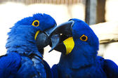 Parrots kissing — Stock Photo