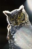 Angry owl — Stock Photo