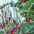 Christmas berries — Stock Photo