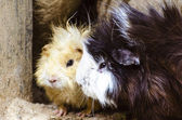 Guinea Pigs — Stock Photo
