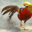 Stock Photo: Golden Pheasant