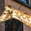 Giraffa — Stock Photo
