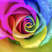 Rainbow Rose Macro — Stock Photo